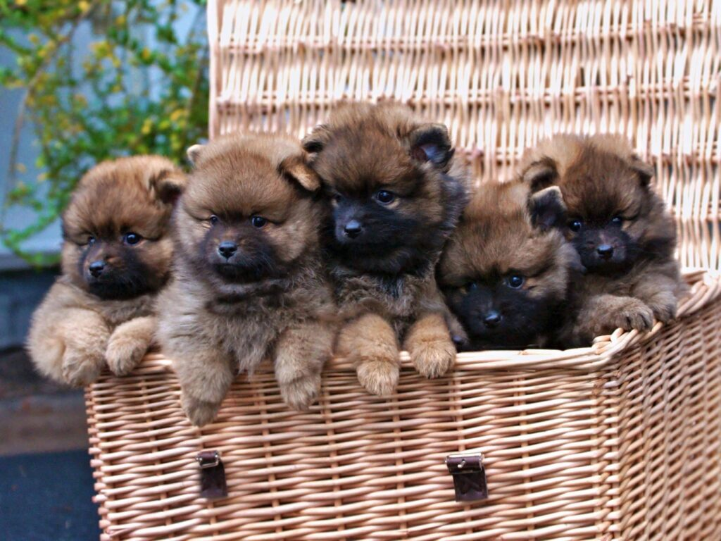 Middenslag keeshond pups 8 weken oud | From Balgowan's Glory
