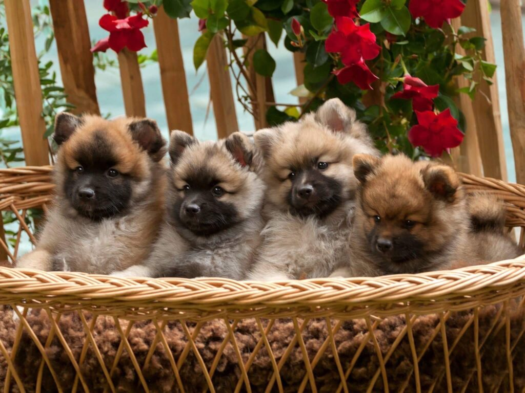 Middenslag pups 7 weken oud | From Balgowan's Glory